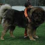 Caucasian Shepherd 1