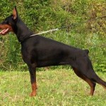 European_Dobermann